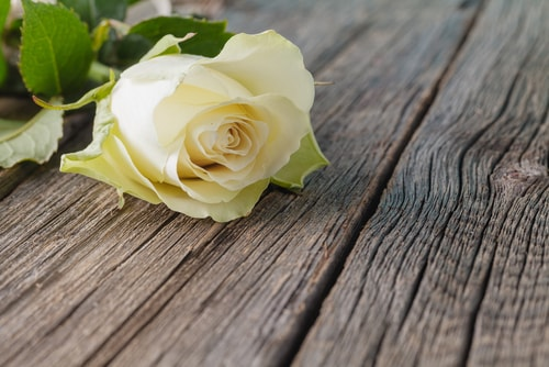 White rose on a wooden table